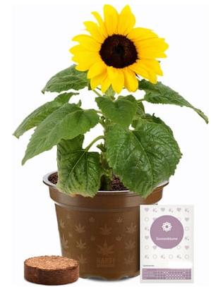 Sonnenblume-1.png